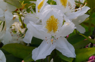 Rhododendron géant - Rhododendron maximum L